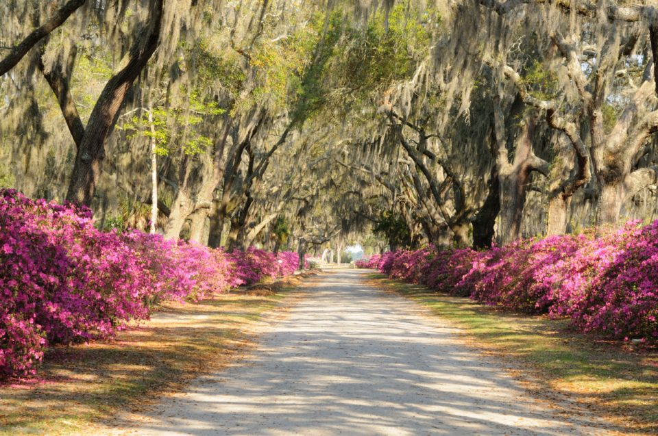 Road with Live Oaks and Azaleas along a Spring Flower Trail
